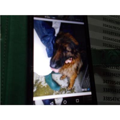 COMUNE DI POMPEI - CANE - Microchip 380260170020675